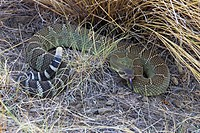 Rattlesnake in the grasslands of British Columbia, Canada