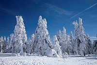 Norway spruce Picea abies, snow_covered spruces on Keilberg, Czech Republic, Erz Mountains, Keilberg