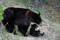 Mother Cinnamon black bear Ursus americanus cinnamomum with her cub, Western Canada