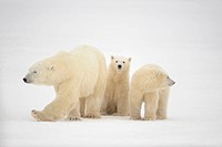 Polar bear Ursus maritimus Mother and cubs