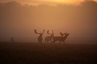 fallow deer Dama dama, Cervus dama, fallow deer bucks in rut, Denmark