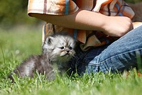 domestic cat, house cat, Persian Felis silvestris f. catus, boy sitting in a meadow with a 4 weeks old kitten