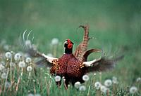 Pheasant on a meadow