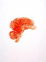 Brain of a pig