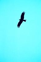 Silhouette of a bird of prey in the sky