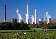 persons picking strawberries, coal_fired power plant Scholven in background, Germany, North Rhine_Westphalia, Ruhr Area, Gelsenkirchen