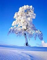 Snow scene, winter
