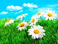 Daisies in grass against a blue sky