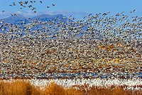 snow goose Anser caerulescens atlanticus, Chen caerulescens atlanticus, flock of snow geese wintering in Bosque del Apache, USA, New Mexico, Bosque de...