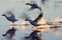 snow goose Anser caerulescens atlanticus, Chen caerulescens atlanticus, three Snow Geese starting, USA, New Mexico, Bosque del Apache Wildlife Refuge