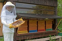 honey bee, hive bee Apis mellifera mellifera, girl in beekeeper clothing controlling honeycombs, Germany