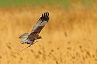 Western Marsh Harrier Circus aeruginosus, flying above reed with reed in talons, Germany, Rhineland_Palatinate