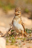 lesser short_toed lark Calandrella rufescens, sitting on the ground with prey in the beak, Canary Islands, Fuerteventura
