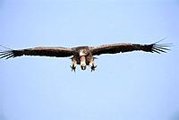 Rueppell´s Vulture Flying
