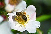 Honeybee on Rose flower