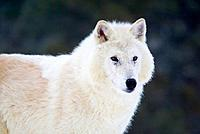 Gray or Arctic Wolf