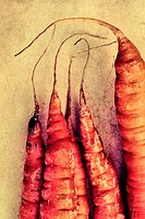 Close up of the tips of Carrots organically grown on a slightly textured background