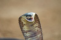 Egytian cobra (Naja haje) showing aggression, Private snake park, South Africa