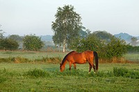 horse on a psture in the morning, Germany, Lower Saxony, Wendland