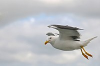 lesser black_backed gull Larus fuscus, flying in front of cloudy sky, Netherlands, Northern Netherlands, Netherlands, Texel