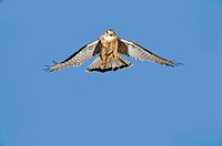 Common Kestrel, falco tinnunculus, Adult in Flight against Blue Sky