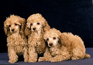 Apricot Standard Poodle, Pups against Black Background