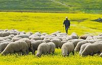 Migratory flock of merino sheep. Cáceres province. Extremadura. Spain