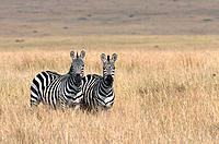 Two Burchell's Zebras