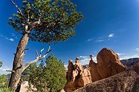 Limber pine Pinus flexilis, and hoodoos at Queens Garden Trail, USA, Utah, Bryce Canyon National Park, Colorado Plateau