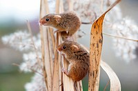 Harvest Mouse Micromys minutus, couple sitting in reed, Bavaria