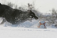 Labrador Retriever Canis lupus f. familiaris, running after football in snow