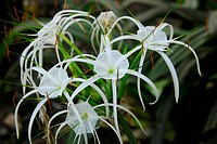 White crinum spiderlily Flower