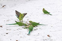 rose_ringed parakeet Psittacula krameri, sitting in snow feeding on seeds, Germany