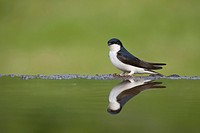 common house martin Delichon urbica, reflected in garden pool, United Kingdom, Scotland, Cairngorms National Park