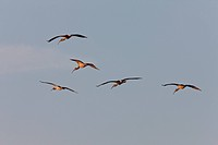 Wood Storks in flight over Florida