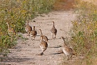 Sharp tailed Grouse family along path