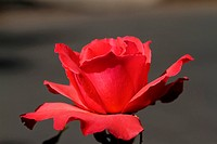 Soft Red Rose