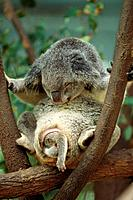 Koala Carrying Baby in Pocket
