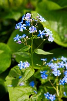 small blue flowers