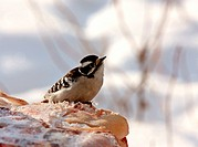 Female Downey Woodpecker in Winter