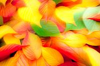 Autumn leaves on ground, close up, ethereal. Leaves from Japanese flowering cherry tree Prunus serrulata.