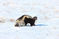 Skunk in WInter Canada