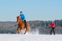 Skijoring with Icelandic horse