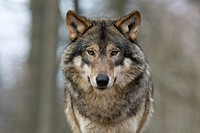 gray wolf _ portrait / Canis lupus