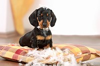 bad habit _ Short_haired dachsund puppy destroying pillow