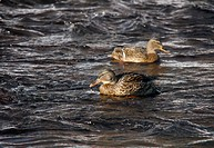 Ducks on the river in winter