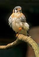 American Kestrel / Falco sparverius