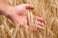 Hand running through wheat crop
