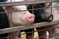Pigs sticking snouts outside of gate