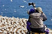 Photographer taking Pictures of Gannets Morus bassanus on Rocks, Cape St. Mary´s Ecological Reserve, Avalon Peninsula, Newfoundland